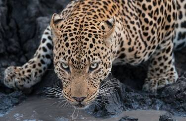 8 58561_Cheetah in Zoo 1109 x 624